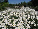 Daisy patch